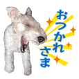 Ron of wire fox terrier