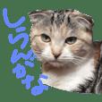calico cat Munchkin14