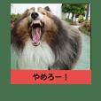 かわいいシェルティ (cute sheltie)