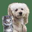 トイプードルのモコ3 with 子猫