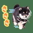 21st-gen. Mamesuke from Wafu-Sohonke
