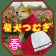 Shibainu Tsumugi ---spring sticker---