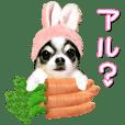 Chihuahua alchan