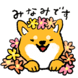Minami of Shiba Inu