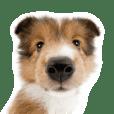 THE DOG シェットランド・シープドッグ