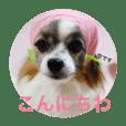 パピヨンの空ちゃん♡2