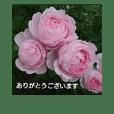 薔薇と敬語