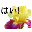 A floral message!German iris