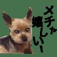 気ままなヨーキー@関西弁2