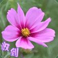 拈花惹草–10 -大波斯菊