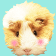 mop of guinea pig3