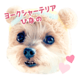 Yorkshire terrier HINANO 2