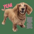 dachshund fayfaychiang
