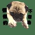 Cute PUG [ChouPea]