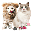 Ragdoll Cat&American Shorthair Cat-Third