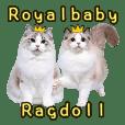 皇家寶貝 布偶貓