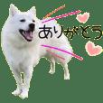 日本スピッツ子犬のユキの可愛いスタンプ