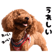 cute Japanese toy poodle