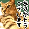 キジトラみるちゃん〜日常&敬語〜 vol.2