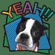 Boston terrier Chloe