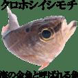 Aqua soul Apogon notatus - JP ver.