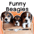 Funny Beagles