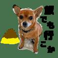 Taro the chihuahua speaks Kansai dialect