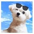 Cool Maltese dogs.