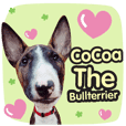 Mini Bull Terrier - Cocoa