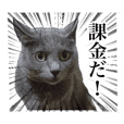 ソシャゲに課金する猫【実写】
