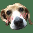 beagle/Koume