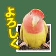 コザクラインコのピヨちゃん2