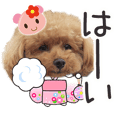 toy poodle LUCK 6