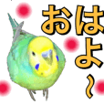 Budgerigar's Ponchan :Daily conversition