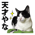 "Cat named ""ON"" daily life -Osaka Direct-"