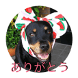 Rottweiler & lab