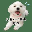 White dog summer