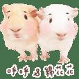 GuineaPig- HuHu & Mianmian