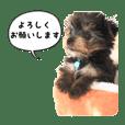 ヨーキー犬  モコの日常スタンプ