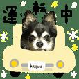 Chihuahua kuku daily life