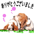 Basset hound 20(dog)