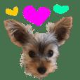 I LOVE Yorkshire terrier !