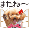 Move toy poodle LUCK 1