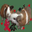 肚臍滷蛋天竺鼠