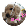 golden retriever puppy nicoli