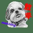 Pencil sketch of Shih Tsu dog