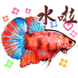 I love beta fish-daily