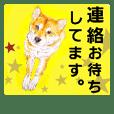 kiroro is shibainu