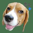 Ta the Beagle 1