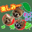 ポメラニアンたま&ヒナ&こた☆お友達参加
